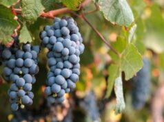 vin Syrah struguri
